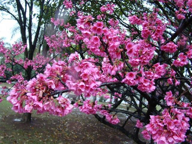 Вишня колокольчатая (Prunus campanulata)