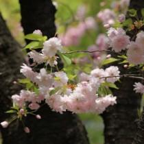 Горная сакура (Prunus Jamasakura)
