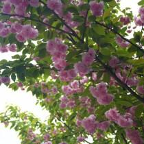 Вишня остропильчатая (Cerasus serrulata)