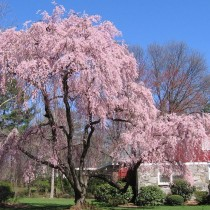 Вишня короткощетинистая (Prunus subhirtella)