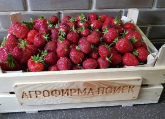 В настоящее время благодаря российским и зарубежным селекционерам создано более 2000 сортов крупноплодной земляники садовой