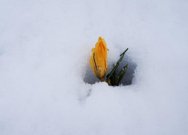 Крокусы зацветают, когда снега уже нет, но стойко переносят возвратные заморозки и снегопады