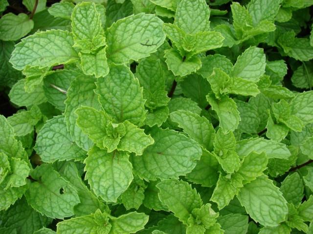 Мята курчавая,или Колосовидная (Mentha spicata)
