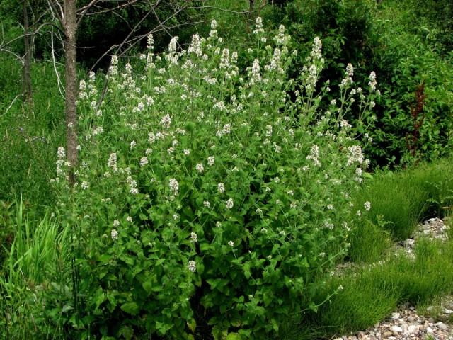 Кошачья мята, или Котовник кошачий (Nepeta cataria)
