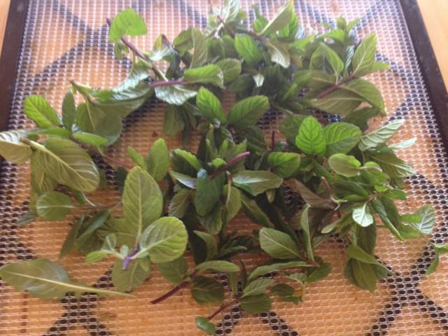 Срезки молодых стеблей с листьями можно проводить, когда растения достигнут высоты 10-12 см