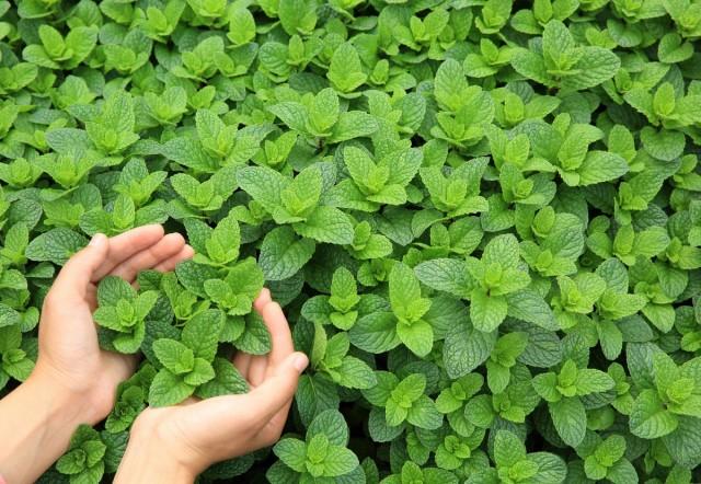 Мята — какую выбрать и как выращивать?