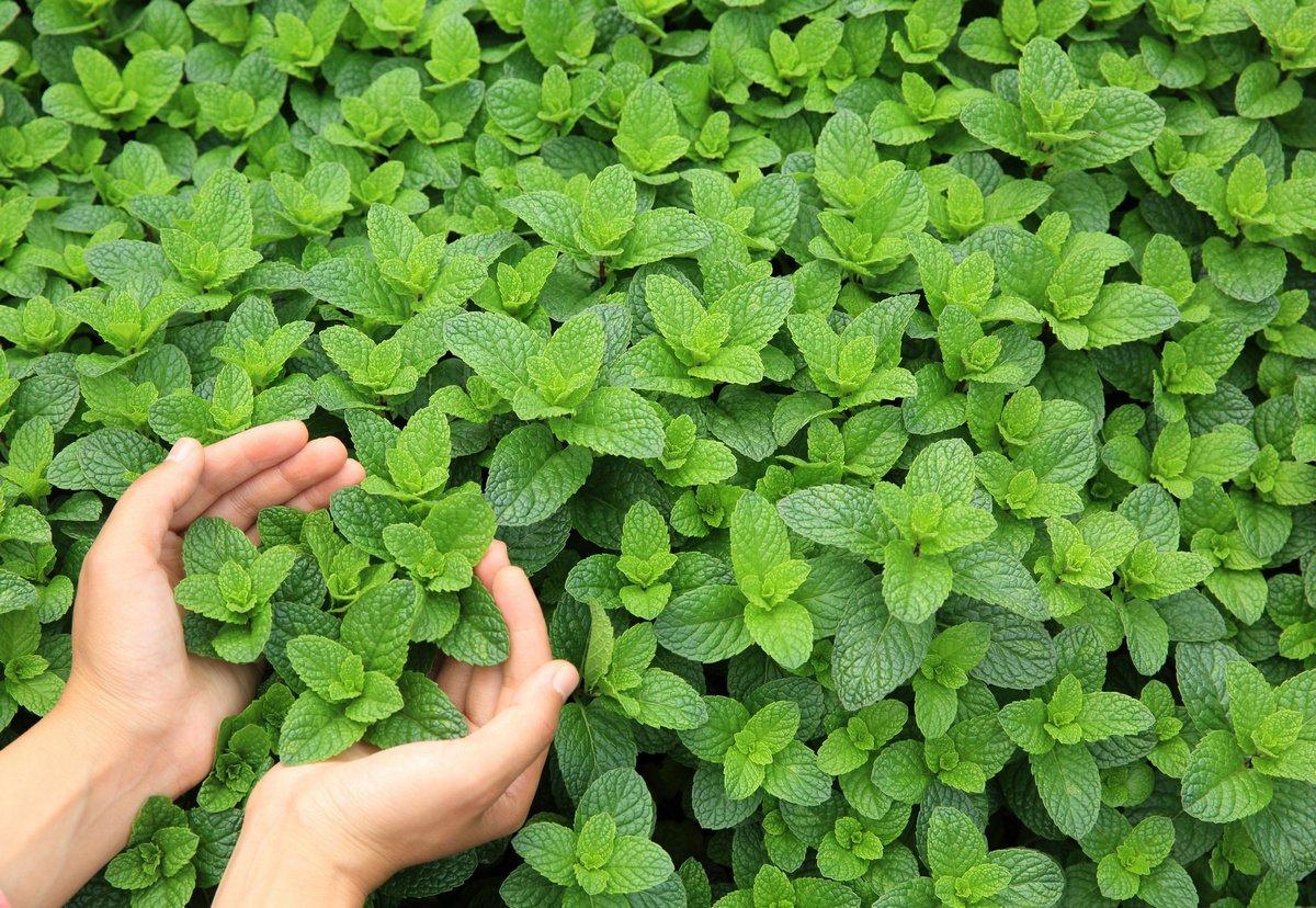 Мята — какую выбрать и как выращивать? Описание видов, агротехника ...
