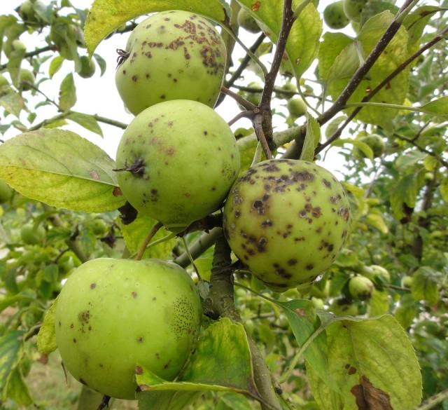 Яблоки пораженные паршой