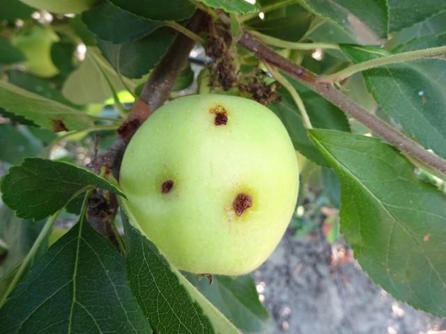 Яблоко повреждённое плодожоркой