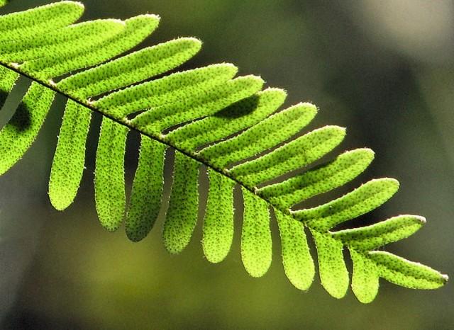 Папоротник-многоножка, или Полиподиум многоножкоподобный (Polypodium polypodioides)