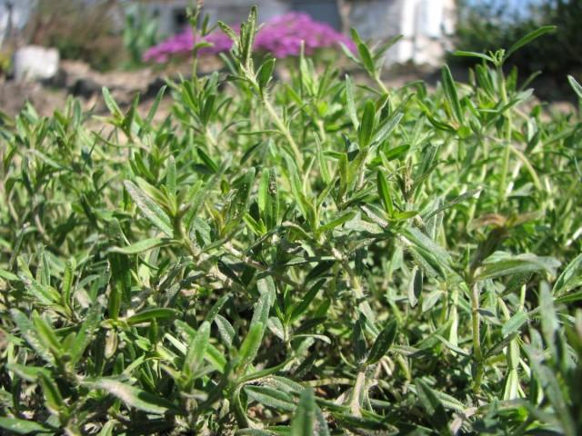 Тимьян - это невысокий, от 10 до 40 см, многолетний вечнозелёный кустарник