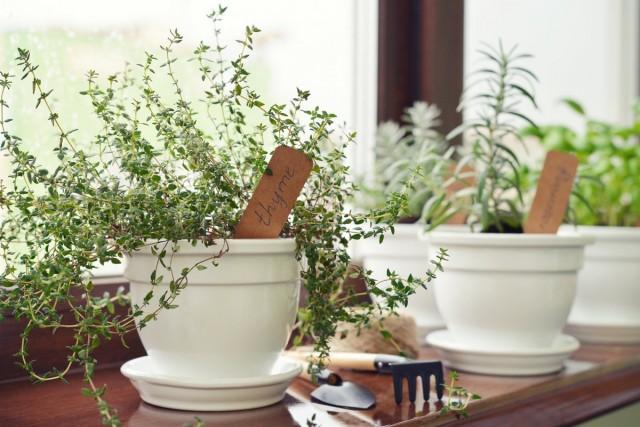 Тимьян успешно выращивается на кухонных подоконниках
