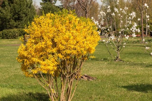 Раннецветущие кустарники, которые образовывают цветы на побегах прошлого года, весной обрезать нельзя, например, форзицию