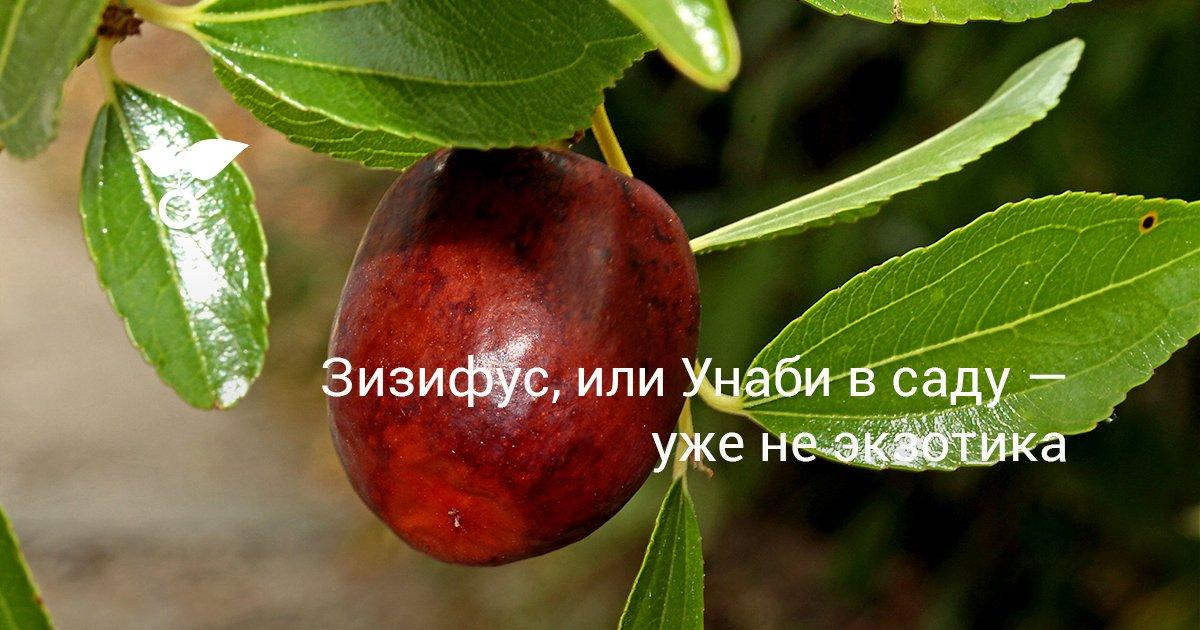 Унаби или ююба – лечебный экзотический плод