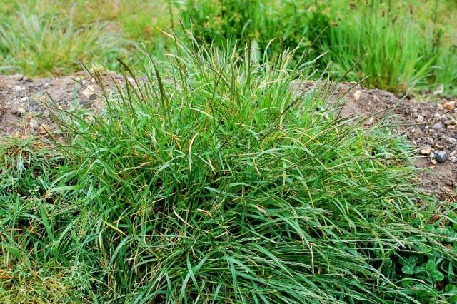 Пырей ползучий (Elytrigia repens)