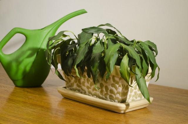 Увядание, поникание листьев, растение выглядит чахлым и безжизненным - растению нужна экстренная пересадка!