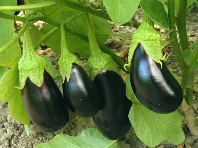 «Триходерма вериде» способствует росту растений и повышает их урожайность