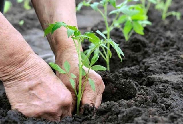 Если рассада томатов с открытой корневой системой, посадку проводят вертикально, без загибов корня
