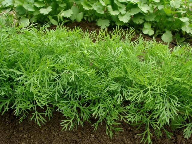 Когда укроп достигнет высоты 10-20-30-35 см (в зависимости от сорта), начинают срезку зелени