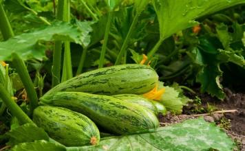 8 хитростей для большого урожая кабачков
