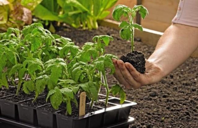 Минимизируйте риски повреждения корней рассады при пересадке