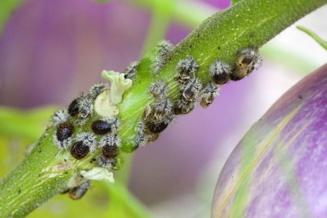 До уборки урожая баклажаны весь вегетационный период подвергаются повреждению болезнями и вредителями