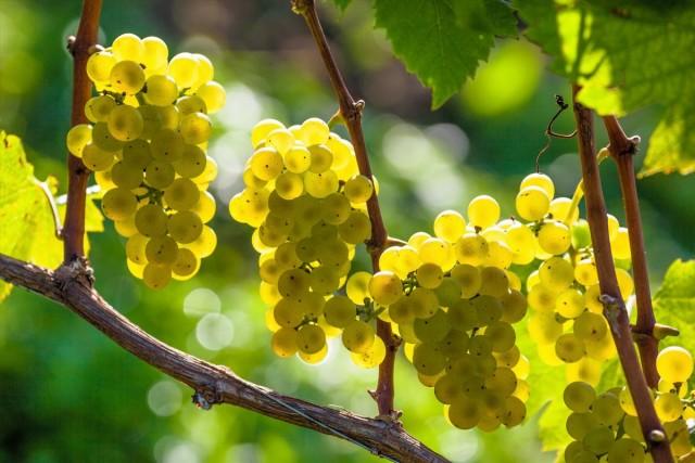 Формирование винограда в средней полосе и севернее