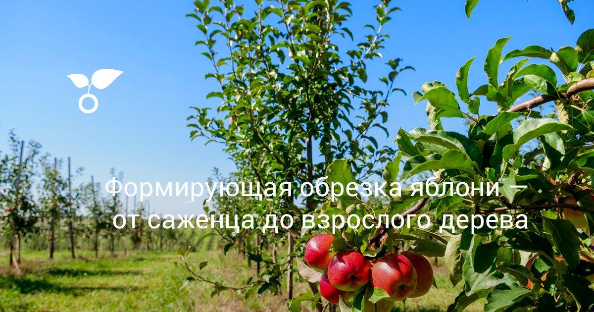 Надо ли обрезать верхушку яблони при посадке
