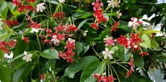Комнатный квисквалис — ароматная цветущая лиана