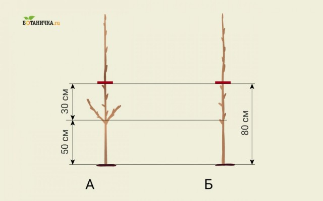 Обрезка саженца яблони после посадки: А - образка саженца с боковыми побегами, Б - образка саженца без боковых побегов