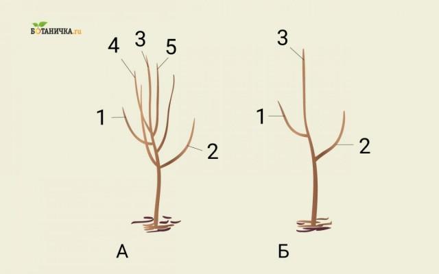 Формирование кроны юной яблони: А - саженец до обрезки, Б - саженец после формирования первого яруса кроны. 1 и 2 - ветви первого яруса, 3 - центральный проводник, 4 и 5 - ветки, подлежащие обрезке