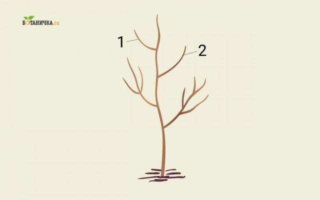 Формирование кроны юной яблони: ветки 1и 2 - каркасные ветки второго яруса кроны