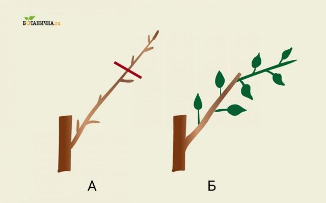 Обрезка каркасных веток яблони: А - ветка до обрезки, Б - каркасная ветка после обрезки с новым побегом