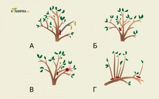 Формирующая обрезка молодой плодоносящей яблони направлена на удаление: А - мертвых ветвей, Б - растущих внутрь, В - трущихся друг с другом, Г - загущающих крону