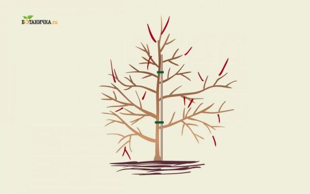 Формирующая обрезка взрослой и старой яблони подразумевает обрезку приблизительно 1/3 новых приростов