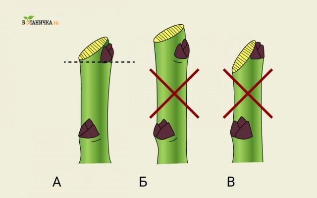 Техника обрезки ветвей: А - правильно, Б и В - неправильно