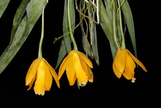 Эухиле цитрусовая (Euchile citrina)