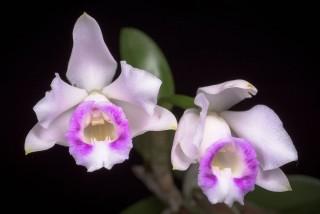 Каттлея алаори (Cattleya alaorii)