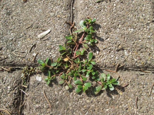 Портулак огородный - одно из самых стойких к условиям растений