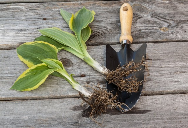 Вегетативное размножение позволяет получить крупные, эффектные растения уже через два-три года