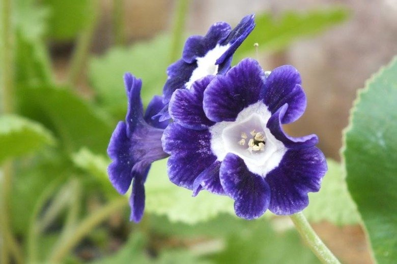 primula-auricula-blue-velvet-1