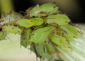 От тли и других вредителей поможет «Биотлин»