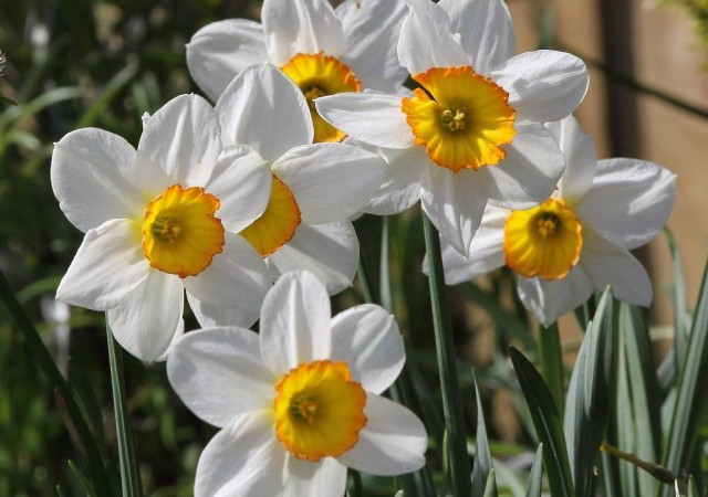 Цветение основной массы нарциссов приходится на начало-середину мая месяца