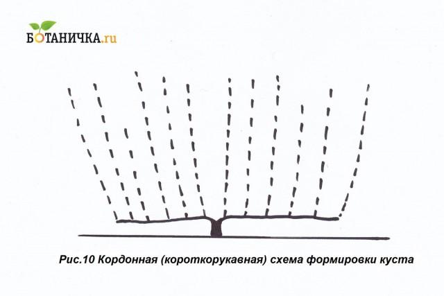 Кордонная схема формирования винограда