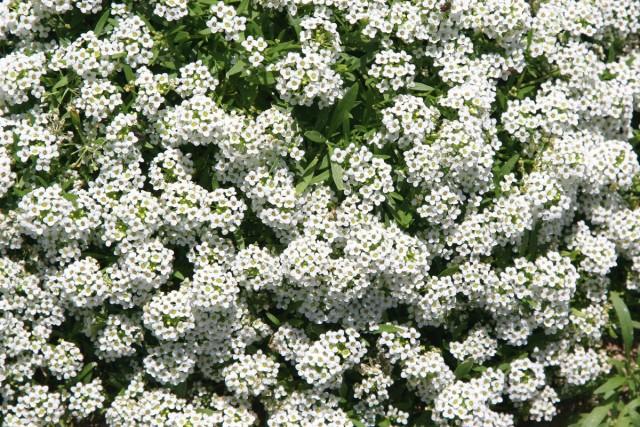 Сильнее всего источает аромат алиссум белой окраски, его запах можно ощутить даже на расстоянии
