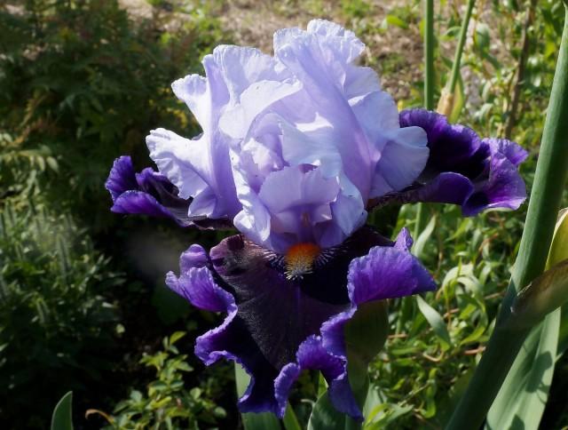Большинство фиолетовых сортов имеют классический аромат ириса