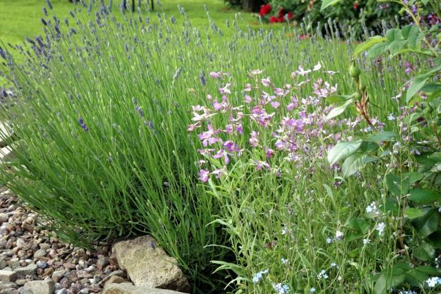 Рыхловатая структура куста и соцветий маттиолы хорошо подойдет для придания цветникам воздушности