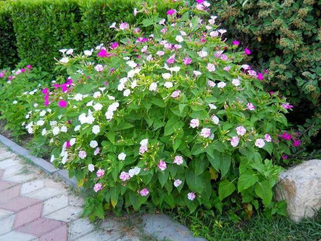 В саду для мирабилиса выбирают самые солнечные места