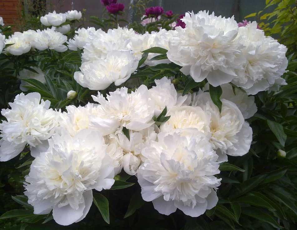 Paeonia-lactiflora-Duchesse-de-Nemours-2