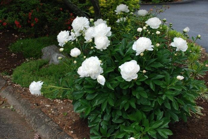 Paeonia-lactiflora-Duchesse-de-Nemours-3